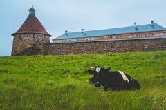OstroveCow de severnom de Na de Korova sur l'île du nord images libres de droits