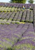 Garden full of lavender in Ostrów 40 km from Krakow. The smell and color of lavender allows visitors to feel like in Provence. Ostrow, Poland - June 6, 2018 stock photography