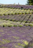 Garden full of lavender in Ostrów 40 km from Krakow. The smell and color of lavender allows visitors to feel like in Provence. Ostrow, Poland - June 6, 2018 royalty free stock images