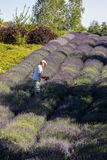 A `Garden full of lavender` arranged by Barbara and Andrzej Olender in Ostrów 40 km from Krakow. The smell and color of lavender. Ostrow, Poland - June 6 stock image