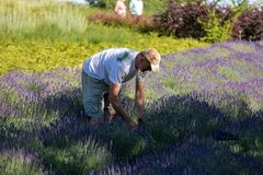 A man cuts sickle lavender flowers in the middle of a lavender field . Ostrow near Cracow, Poland. Ostrow, Poland - June 6, 2018: A `Garden full of lavender` royalty free stock photos