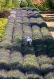 A `Garden full of lavender` royalty free stock image