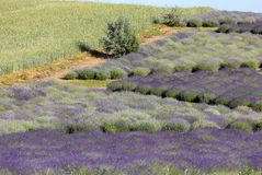 A `Garden full of lavender` arranged by Barbara and Andrzej Olender in Ostrów 40 km from Krakow. Ostrow, Poland - June 6, 2018: A `Garden full of lavender` royalty free stock images