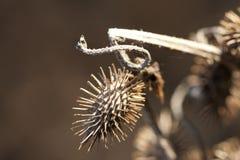 Ostry Cocklebur - Xanthium strumarium Zdjęcie Royalty Free