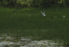 Ostry Seagull polowanie dla ryba obrazy royalty free