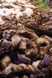 ostrygi Zdjęcie Stock