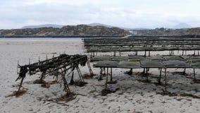 Ostrygi uprawiać ziemię i ostryga oklepowie, spławowa siatka zdojesteśmy Carrickfinn w okręgu administracyjnym Donegal, Irla zdjęcie wideo