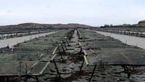 Ostrygi uprawiać ziemię i ostryga oklepowie, spławowa siatka zdojesteśmy Carrickfinn w okręgu administracyjnym Donegal, Irla zbiory