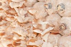 Ostrygowa pieczarka zdjęcia royalty free