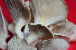 Ostrygowa pieczarka - tło Fotografia Stock