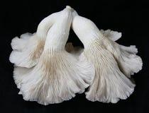Ostrygowe pieczarki 3 Obraz Stock