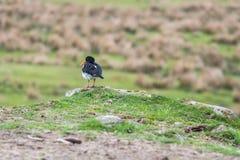 Ostrygowego łapacza ptak zdjęcie royalty free