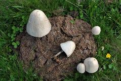 Ostrygowej pieczarki góra Zdjęcie Royalty Free