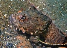 Ostrygowy Toadfish 2 Zdjęcie Royalty Free