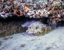 Ostrygowy Toadfish - St Andrews zatoki kanał Obraz Royalty Free