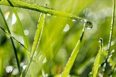 Ostrza świeża zielona trawa z dewdrops Fotografia Royalty Free