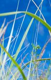 Ostrza trawa na niebieskim niebie Obraz Royalty Free