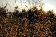 Ostrza trawa z backlight położenia słońce Zdjęcie Royalty Free