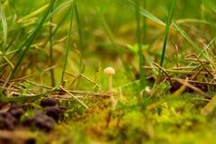 Ostrza trawa z centrum pieczarką Obraz Royalty Free