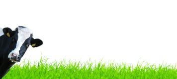 Ostrza trawa z krową Zdjęcie Royalty Free