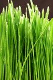 Ostrza trawy ekstremum zakończenie Up Obrazy Stock