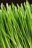 Ostrza trawy ekstremum zakończenie Up Obraz Royalty Free