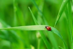 ostrza trawy ladybird Zdjęcia Royalty Free