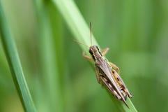 ostrza trawy pasikonik Zdjęcie Royalty Free