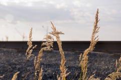 Ostrza trawy witn spikelets na bławym tle wiatr Fotografia Royalty Free