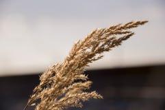 Ostrza trawy witn spikelets na bławym tle wiatr Fotografia Stock