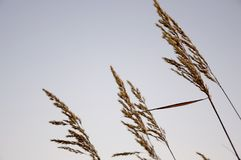 Ostrza trawy witn spikelets na bławym tle wiatr Zdjęcia Stock