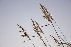 Ostrza trawy witn spikelets na bławym tle wiatr Obrazy Royalty Free