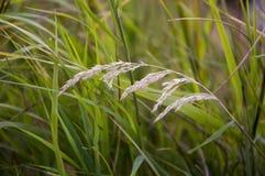 Ostrza trawy witn spikelets na popielatym tle Fotografia Royalty Free