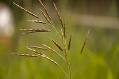 Ostrza trawy witn spikelets na popielatym tle Zdjęcia Royalty Free