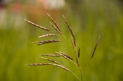 Ostrza trawy witn spikelets na popielatym tle Obraz Stock