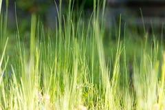 Ostrza trawy zieleń Fotografia Stock
