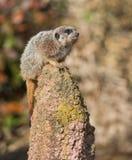 Ostrzeżenie: czujny meercat na kopu zdjęcia stock