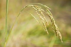 Ostrze Nepalscy ryżowi pola Zdjęcia Royalty Free