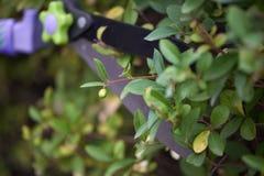 Ostrze ogrodowi nożyce odcina małej jagody obraz royalty free