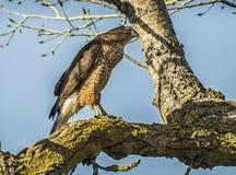 Ostrze Shinned jastrząb przy Sacramento obywatela rezerwatem dzikiej przyrody Zdjęcie Royalty Free