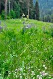Ostrze trawa. Obrazy Stock