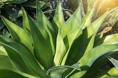 Ostrze wskazująca agawy roślina Zdjęcia Stock