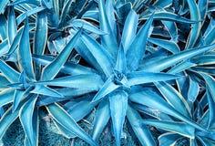 Ostrze wskazująca agawy roślina Zdjęcie Stock