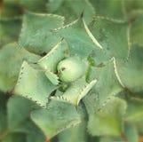 Ostrze wskazujący agawa liście Zdjęcie Royalty Free