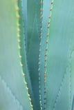Ostrzy śpiczaści agawy rośliny liście Fotografia Stock