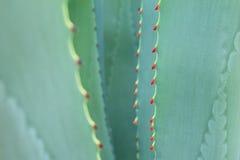 Ostrzy śpiczaści agawy rośliny liście Obraz Royalty Free
