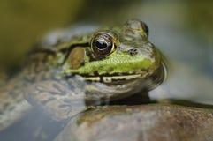 ostrzy żaby stawowy s Zdjęcia Stock