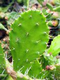 Ostrzy ciernie na Kłującej bonkrety kaktusa liściach Fotografia Royalty Free
