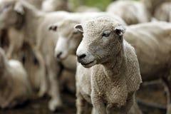 ostrzyżeni owce Zdjęcia Stock