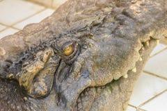 Ostrzy fangs i straszny krokodyl który czeka zdobycza Dreadfu Obraz Stock